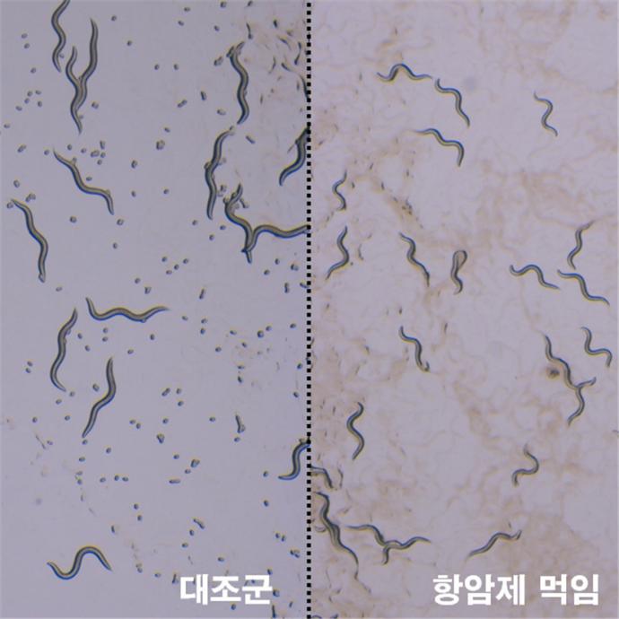 항암제가 예쁜꼬마선충의 성장과 생식에 미치는 영향 - KIST 제공